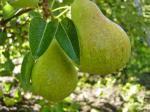 Karsten Bon Chretion Pears