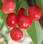 Karsten Sweetheart Cherries